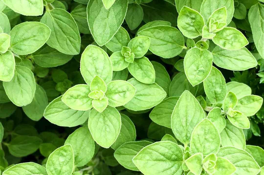 Oregano / Beta-Caryophyllen
